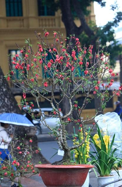 Vì hiếm nên rất ít cây đào Thất Thốn được đem bán. Khu vực trước cổng Hoàng Thành hiện chỉ có vài cây bán cho khách, giá cả cũng khá đắt. Trong ảnh cây đào này có giá bán 40 triệu đồng.