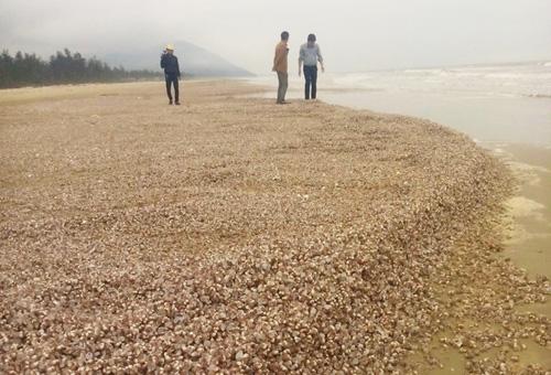 Sò lông, ốc hương chết trôi dạt vào bờ biển quá nhiều khiến người dân lo lắng