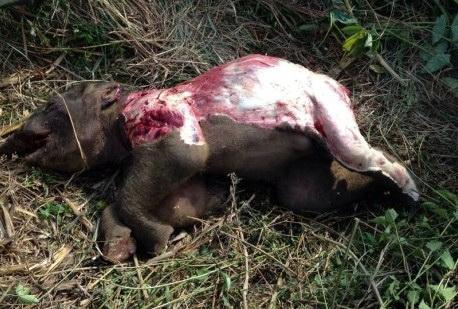 Con voi chết trong tình trạng bị lột da và 4 đế chân. Ảnh do cơ quan chức năng cung cấp