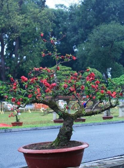 Nếu mà cây có dáng như vậy mà có 5 tay tính cả ngọn gọi là ngũ phúc
