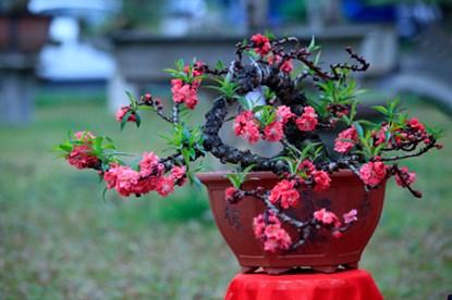 Đào Thất Thốn dáng bonsai