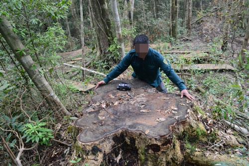 Những cây du sam cổ thụ bị đốn hạ trong Khu Bảo tồn thiên nhiên Nam Nung (Đắk Nông)