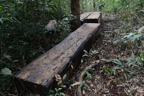 Các phiến gỗ du sam chưa được vận chuyển ra khỏi rừng Ảnh: Ngàn Sâu