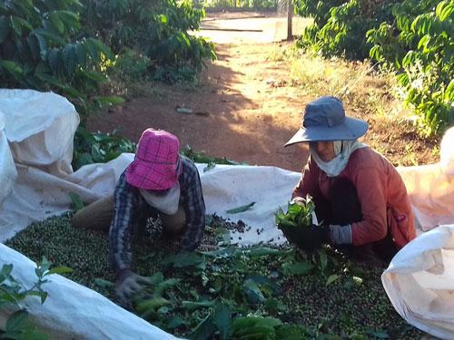 Hơn 90% cà phê Việt Nam vẫn chỉ xuất khẩu thô chứ không qua chế biến Ảnh: HOÀNG THANH