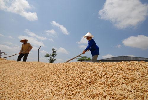 Sản xuất nông nghiệp ở ĐBSCL không đủ hấp dẫn để níu kéo lao động trẻ Ảnh: NGỌC TRINH