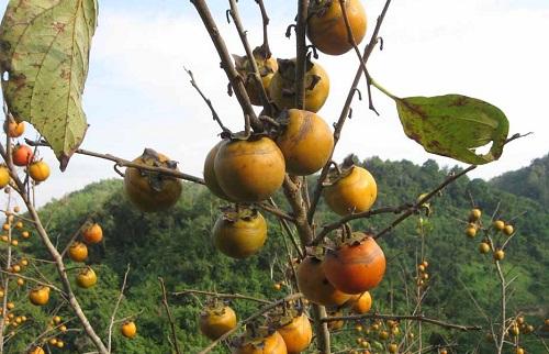 Hồng vành khuyên ăn giòn, ngọt, là cây ăn quả đặc sản thế mạnh giúp xóa đói giảm nghèo cho người dân. Ảnh: Hồng Vân