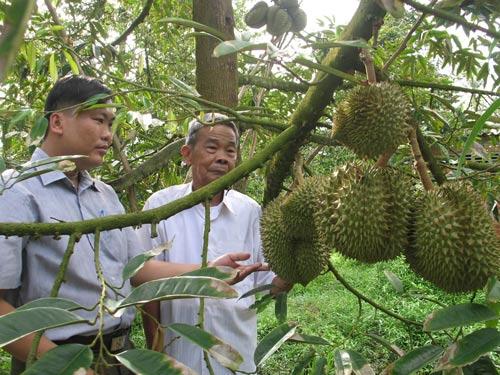 Vườn sầu riêng 8.000 m2 của ông Ngô Văn Cưng cho thu nhập trên 400 triệu đồng Ảnh: TTXVN