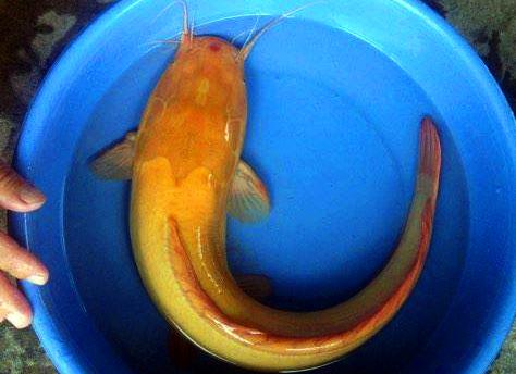 Con cá trê vàng tại nhà anh Nghĩa