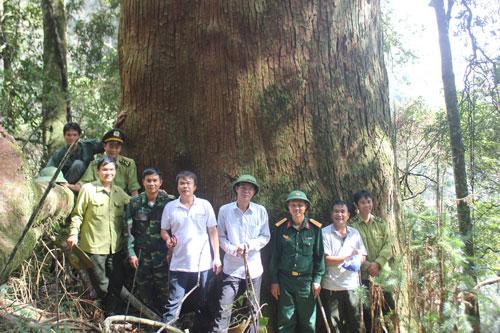 Các cây sa mu dầu khổng lồ được công nhận là Cây Di sản Việt Nam Ảnh: Nguyễn Danh Hùng