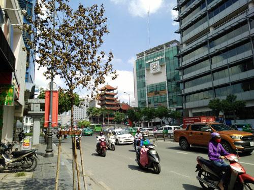 Một cây long não khô héo trên đường Nguyễn Văn Trỗi, quận Phú Nhuận, TP HCM Ảnh: SỸ ĐÔNG