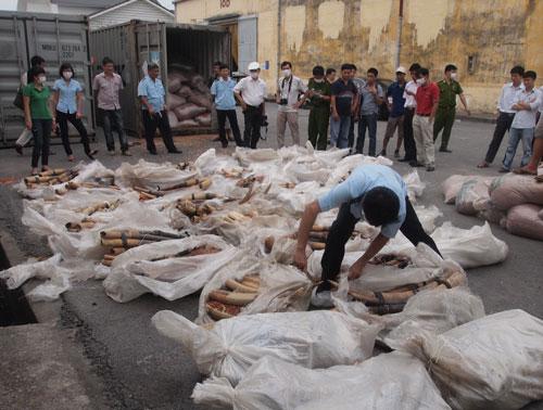 Phát hiện khoảng 1 tấn ngà voi trong lô hàng ở TP Hải Phòng vào ngày 19-8-2014