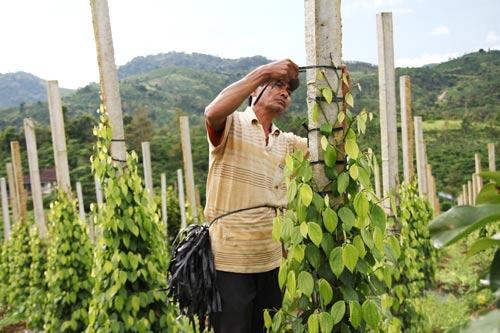 Diện tích trồng tiêu ở Lâm Đồng đã tăng đột biến