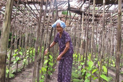 Nghề trồng trầu ở xã Bà Điểm, huyện Hóc Môn, TP HCM đã tồn tại hơn 300 năm nay