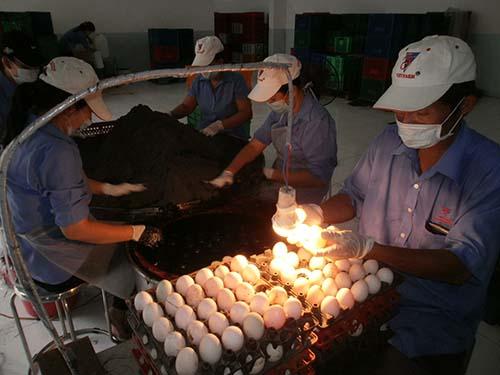 Một trong những công đoạn làm trứng muối tại nhà máy Vietfarm