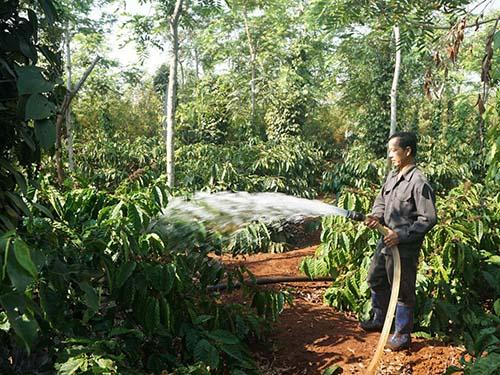Thời tiết nắng hạn kéo dài đã ảnh hưởng đến năng suất và chất lượng cà phê