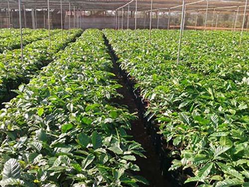 Hơn 15 triệu cây cà phê giống phân phối tới nông dân