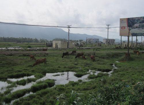KCN Hoàng Mai hiện trở thành nơi chăn thả trâu bò của người dân