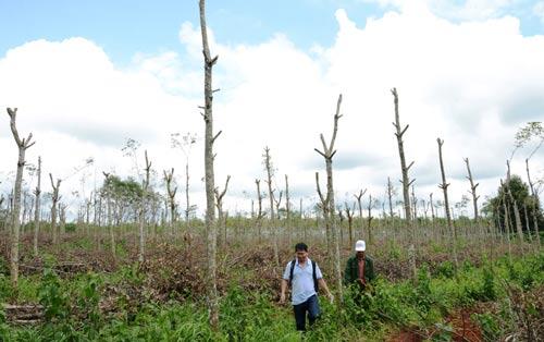 Người dân Kon Tum chặt hết cành, chuyển vườn cao su làm trụ để trồng tiêu Ảnh: Hoàng Thanh