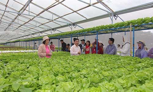 Trang trại rau của bà Phạm Thị Thu Cúc, một trong những hộ nông dân đã hợp tác với MM Mega Market, từ những ngày đầu