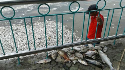 Cá chết nổi trắng hồ Tây (Hà Nội) từ ngày 1-10 đến nay