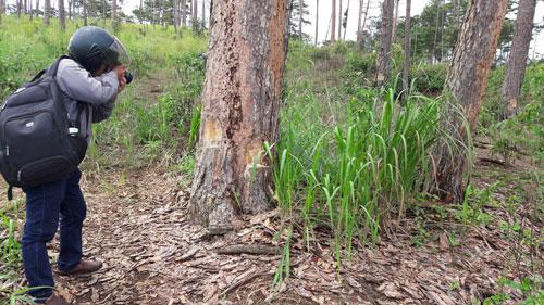 Một cánh rừng thông ở huyện Bảo Lâm chết đứng do bị ken gốc, đốt gốc và đổ thuốc độc