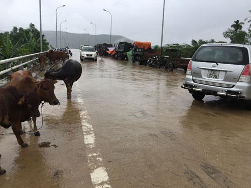 Người dân tận dụng nhiều chỗ trên các cầu bắc qua sông Gianh để làm chỗ trú tránh cho trâu bò, xe máy, ô tô Ảnh: LƯƠNG DUY CƯỜNG
