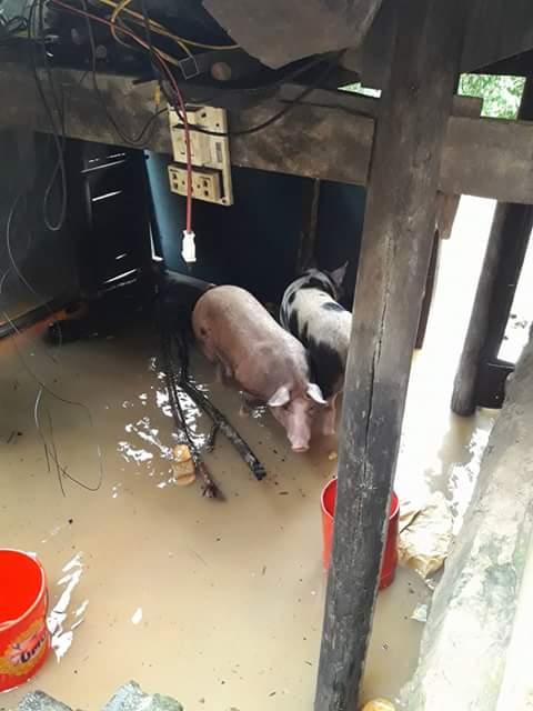 Nước rút, mấy con heo cũng được đưa về lại chuồng