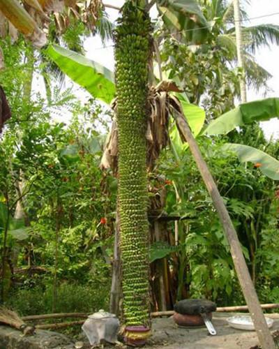 Nhìn qua chắc nhiều người không biết đây là buồng chuối. Nhiều quả đến mức người ta phải lấy gậy chống vào thân cây.