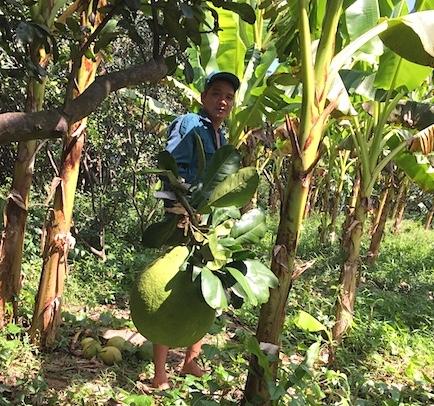 ĐBSCL có diện tích trồng cây ăn quả lớn nhưng vẫn còn bị bỏ ngỏ.