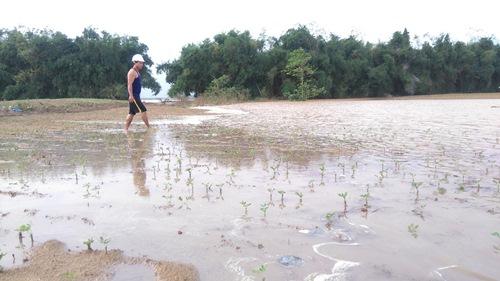 Nhiều diện tích hoa màu của người dân ở huyện Đại Lộc, tỉnh Quảng Nam bị thiệt hại do ngập úng. Ảnh: Trần Thường