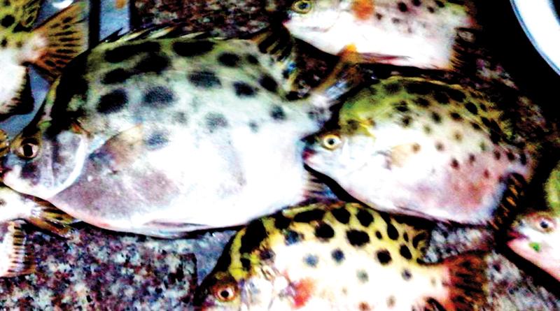 Cá hói to từ 2,5 đến 3 lạng, nguyên liệu tuyệt vời cho món cá nướng.