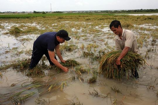Nông dân ở một số địa phương vùng hạ lưu phải tranh thủ gặt lúa khi lũ đang tràn về, mong vớt vát chút đỉnh