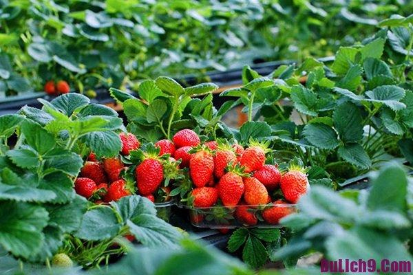 Vườn dâu tây ở Đà Lạt