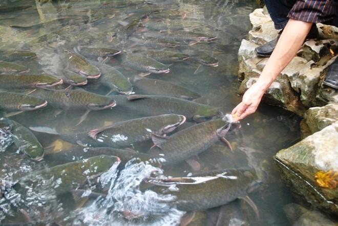 Cá trong suối là giống cá màu xanh thẫm, hai bên mép đỏ tươi, mỗi khi bơi phát ra những luồng ánh sáng lấp lánh như ánh ngọc đẹp mắt. Người dân trong vùng tin rằng sự sung túc của đàn cá sẽ đem lại bình yên no ấm cho cuộc sống ở địa phương. Ảnh: Duy Cảnh.