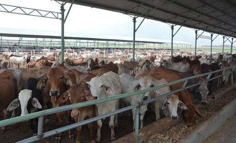 Trang trại nuôi bò của Hoàng Anh Gia Lai ẢNH: TRẦN HIẾU