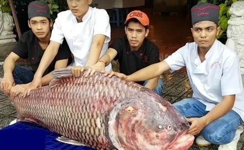 Con cá hô nặng 110kg được nhà hàng săn mua để bán cho khách.