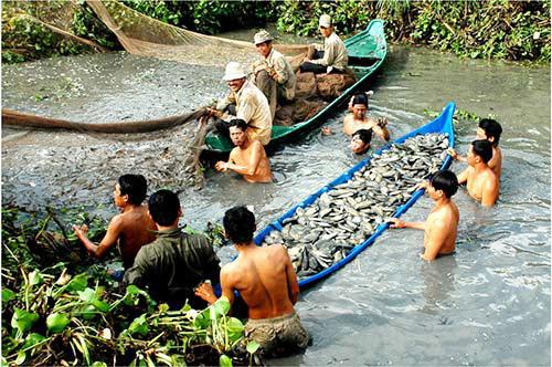 Kéo lưới thu hoạch cá dưới ao ở Cà Mau