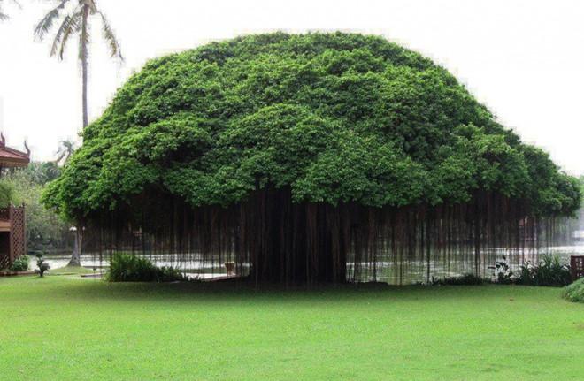 Lùm cây chi sung đẹp tuyệt ở Philippines. Ảnh: Bright Side.