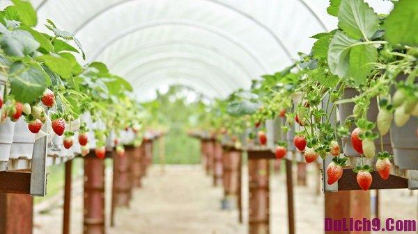 Kinh nghiệm tham quan những vườn dâu tây nổi tiếng ở Đà Lạt