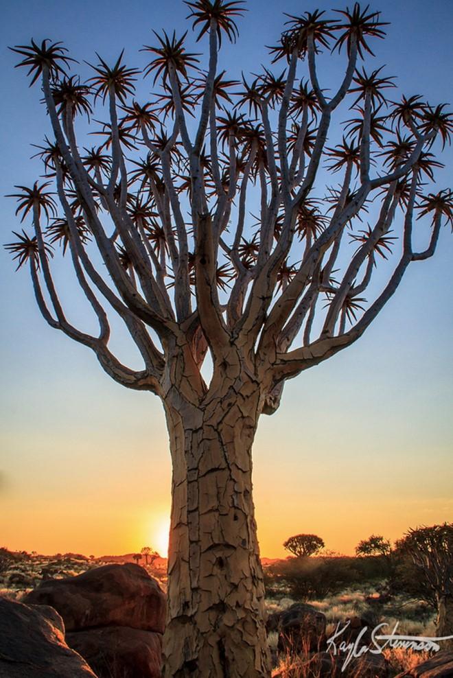 Một cây thuộc họ măng tây tại Namibia. Ảnh: Kayla Stevenson.