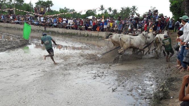 Năm nay các cặp bò đua chạy loạn xạ tấn công người ở hai bên đường đua cũng khiến nhiều người hú vía khi xem đua bò - Ảnh: BỬU ĐẤU
