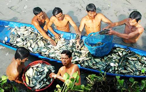 Nghề nghe cá đồng thở để thầu đìa giúp nhiều gia đình ở Cà Mau tạo nên cơ nghiệp.