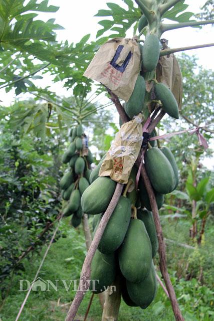 Là năm đầu tiên giới thiệu ra thị trường nên nhóm nông dân xã Phú Hữu dự tính chỉ sản xuất từ 1.200 -1.400 trái bán vào dịp Tết nguyên đán.