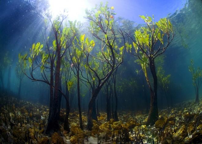 Những cây xoài non dưới nước. Ảnh: Noam Kortler.