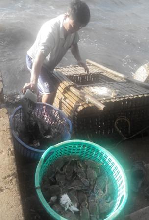 Một ngư dân đang lẹ ghẹ để chuẩn bị mang lên chợ cân