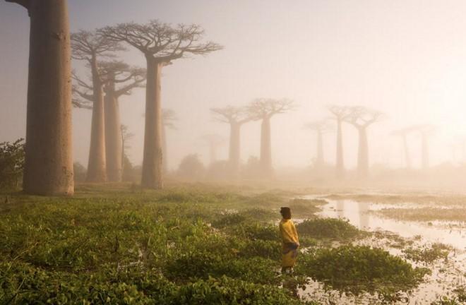 Cây bao báp tại Madagascar, một quốc đảo Ấn Độ Dương. Ảnh: Marsel Van Oosten.