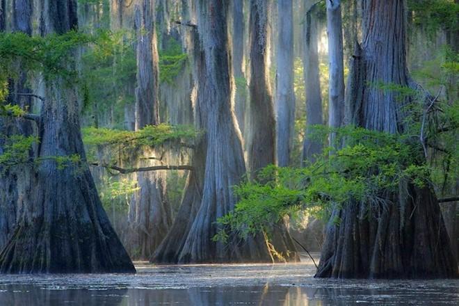 Cây bách ở hồ Caddo, bang Texas, Mỹ. Ảnh: Vintika.net.