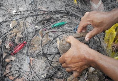 Những con cua đá được người dân vừa bẫy được ở biển đang bắt ra khỏi lưới để bán