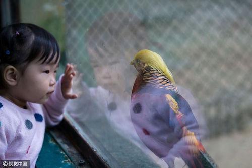 Chim trĩ nổi tiếng nhờ 'mái tóc' giống Donald Trump