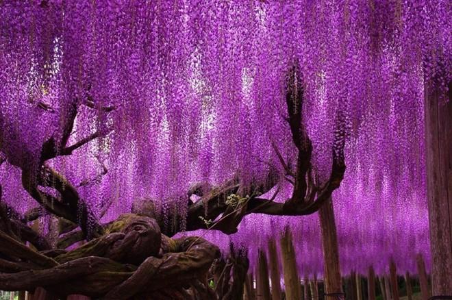 Cây hoa tử đằng, Nhật Bản. Ảnh: Urloplandia.pl.